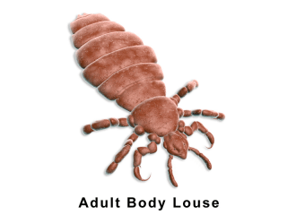 Adult Body Louse